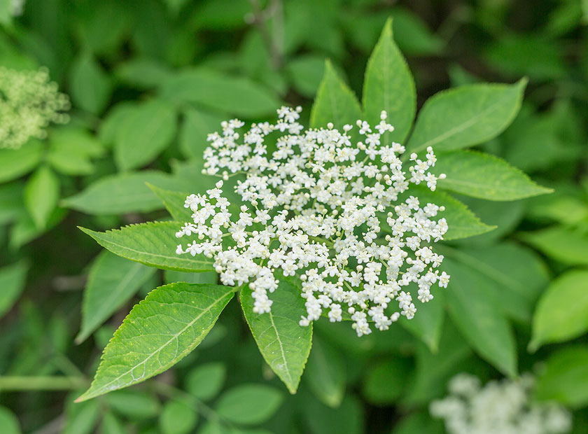 Elderberry Blossom for Better Heart Health and Reduction of Cold and Flu Symptoms