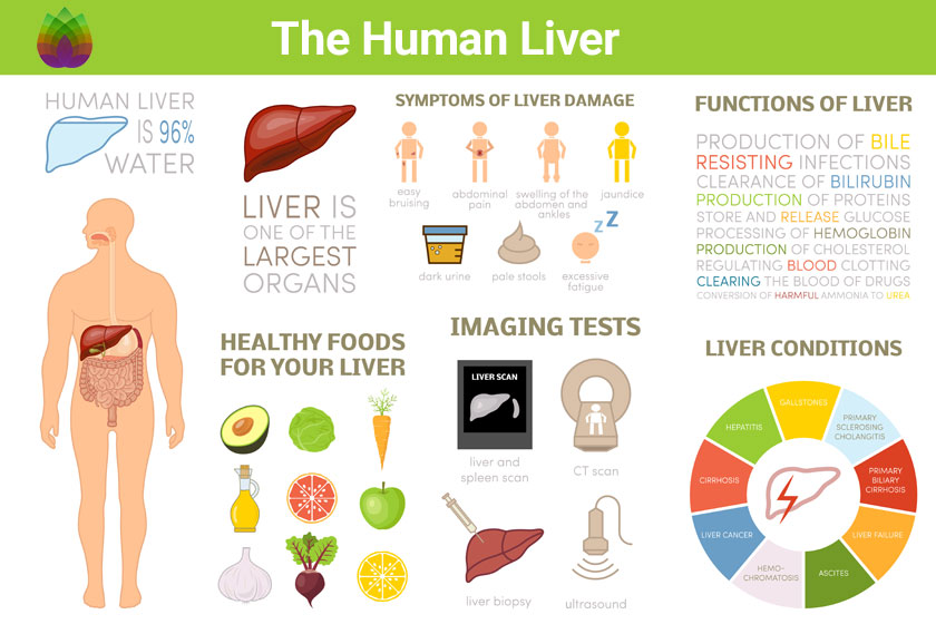 FBM: The Human Liver (infographic)